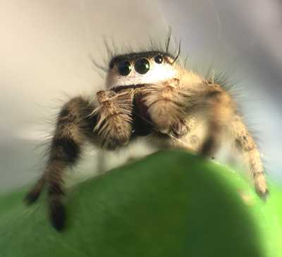 My Pet Jumping Spider